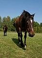 Hevoset kesälaitumella 5.jpg