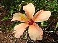 Hibiscus-rosa-sinensis-20080402.JPG