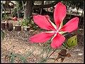 Hibiscus coccineus - (Eran Finkle) 001.jpg