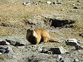 Himalayan marmot (Marmota caudata).jpg