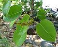 Hippomane mancenilla feuilles inflor.jpg