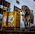 Holy Cow Container, India (6947061876).jpg