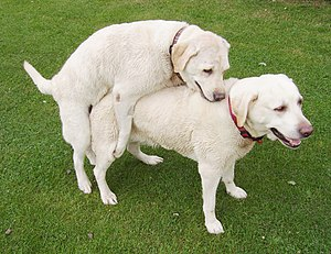 Homosexual behavior in animals - A female Labrador dog mounting another.