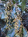 Hopea ponga flowers at Keezhpally (29).jpg
