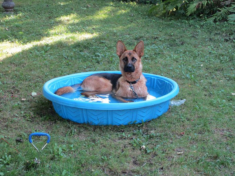 File:Hot August Dog In Pool.jpg