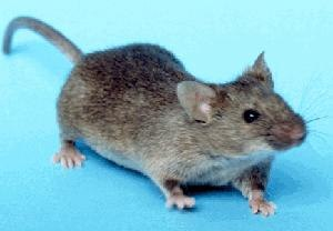 History of model organisms - House mouse, the most important mammal model organism