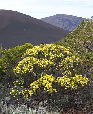 Hubertia - Hubertia tomentosa