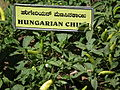 Hungarian chilli from lalbagh 2313.JPG