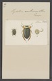 Hydaticus - Print - Iconographia Zoologica - Special Collections University of Amsterdam - UBAINV0274 014 05 0034.tif