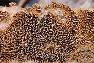 Hydnoid fungi - Image: Hydnochaete olivacea