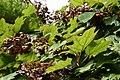 Hydrangea quercifolia Alison 1zz.jpg