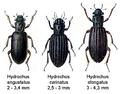 Hydrochidae.png