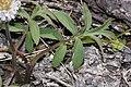 Hydrophyllum capitatum 3230.JPG