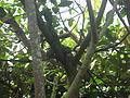 Hydrosaurus amboinensis in Burgers' Zoo (Mangrove) (1).JPG