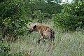 Hyena on the prowl (2362225276).jpg