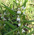 Hygrophila auriculata (25974147785).jpg