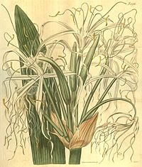 Hymenocallis latifolia.jpg