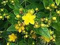 Hypericum × inodorum - London.jpg