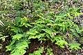 Hypericum androsaemum kz5.jpg