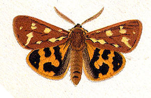 Hyphoraia aulica - Illustration