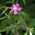 IMG 4212-Geranium canariensis.jpg