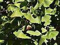 IUB Maxwell Hall - ginkgo tree - P1040247.JPG