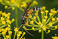 Ichneumon wasp on fennel.jpg