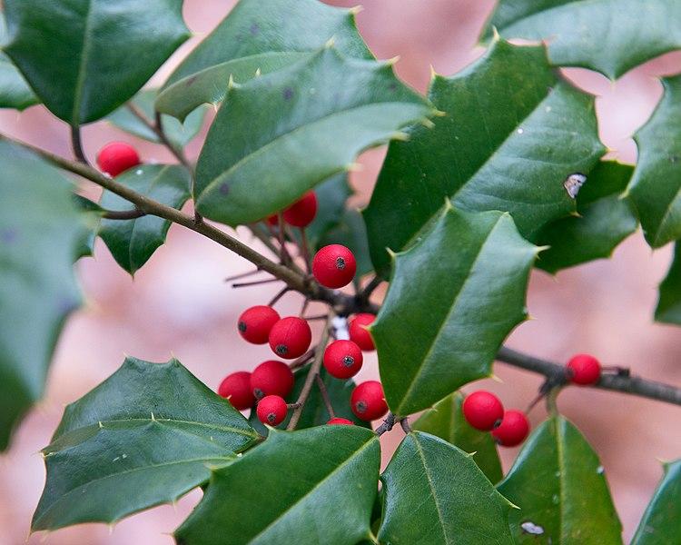File:Ilex opaca 'Miss Butler' (Cultivar of American Holly) (31953982266).jpg