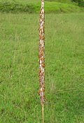 Imperata cylindrica flowerhead7 (8233674244).jpg