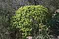 Inca - Puig de Santa Magdalena - Euphorbia dendroides 01 ies.jpg