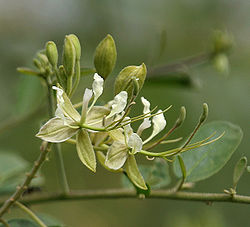 Indian Cadaba (Cadaba fruticosa) flower in Hyderabad, AP W IMG 7546.jpg