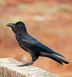 Indian Jungle Crow in Kerala.jpg