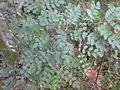Indigo Plant.JPG