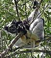 Indri Indri.jpg