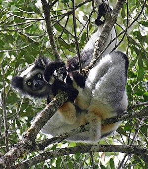 Indriidae - Indri (Indri indri)