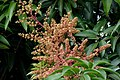 Inflorescencia del Mango (Mangifera indica) (14704955963).jpg