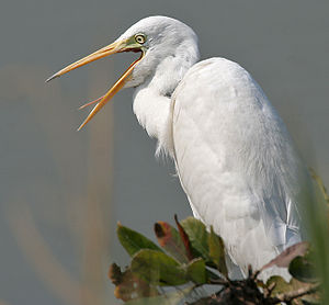 Intermediate Egret (Mesophoyx intermedia) in Hyderabad W IMG 4975.jpg