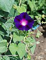 Ipomoea July 2011-4.jpg