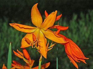 Crocosmia aurea - Image: Iridaceae Crocosmia aurea 1