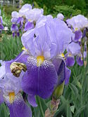 Iris 'Gene Wild' 2007-05-13 383.jpg