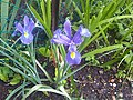 Iris × hollandica - England 1.jpg