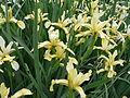 Iris orientalis 2007-05-13 355.jpg