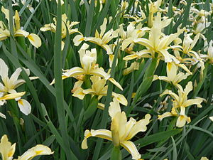 Iris orientalis - clump of Iris orientalis