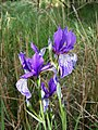 Iris sibirica sl21.jpg