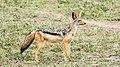 Jackal, Serengeti (17053196412).jpg