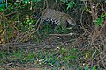Jaguar (Panthera onca) female walking on the river bank ... (28917311440).jpg