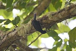 "Конкурс ""Птицы"" - Страница 2 265px-Jamaican_Blackbird_2506114057"
