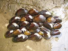 James spinymussel (Pleurobema collina) found during sream survey in Virginia (8002764522).jpg