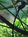 Japanese Paradise-flycatche.jpg