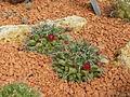 Jardin des plantes Paris Mammillaria tolimensis.JPG